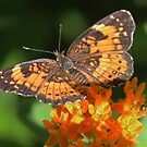 Butterfly and milkweed by Alice Kahn