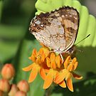 butterfly and milkweed2 by Alice Kahn