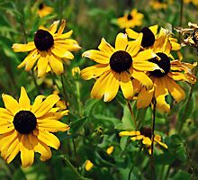 Brown Eyed Susan by Scott Mitchell
