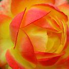 Oranges & Lemons Rose by aneyefornature