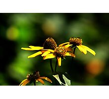 Prairie Coneflower Photographic Print