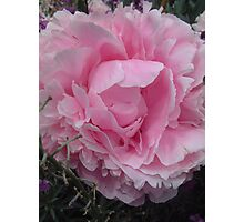 Frothy pink flower Photographic Print
