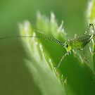Grasshopper nymph by Lifeware