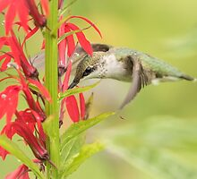 Ruby Throated Hummingbird 6-2015 by Thomas Young