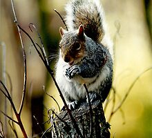 "Grey Squirrel ""Nutkins"" by Rachelo"