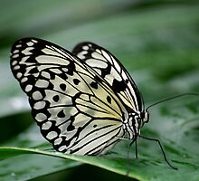Rice Paper butterfly by Declan Carr