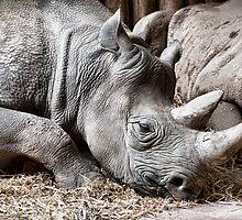 Restful Rhino by mdgaskell