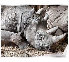 Restful Rhino Poster