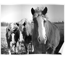 Trio of Friendship - 3 Draft Horses in Pasture Poster