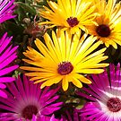 Pink & Yellow Livingston Daisies by Chanzz