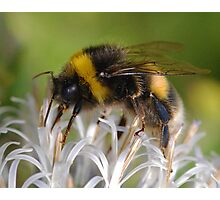 Bust Bee Photographic Print