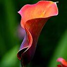 ~ Colourful Calla Lily ~ by Sandra Cockayne