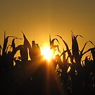 silloette of the corn fields  by treolson