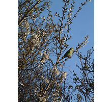Green Ring Necked Parakeet on a perfect perch Photographic Print