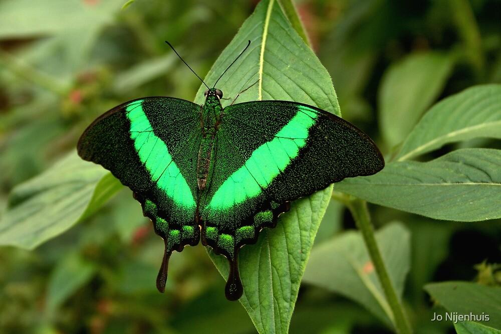 Emerald Swallowtail by Jo Nijenhuis