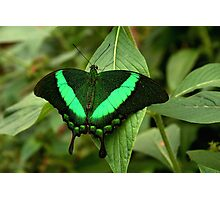 Emerald Swallowtail Photographic Print