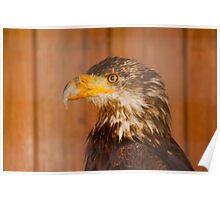 Bald Eagle - Parc Omega Poster