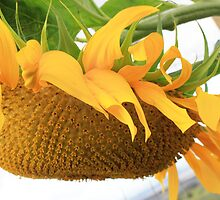 Side Face of the Mighty Mammoth Sunflower by DonnaBoley