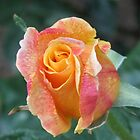 Beautiful Rose by Gordon Taylor