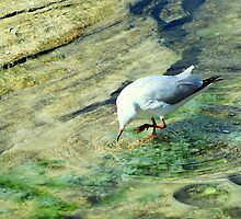 Gull Dancing in Rock Pool by Janie. D