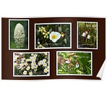 Collage of White Rocky Mountain Wildflowers Poster
