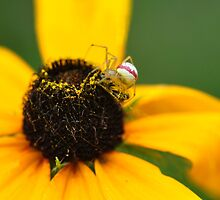 Orb Weaver by Nancy Barrett