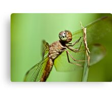 Face of dragonfly - www.jksarkodie.com Canvas Print