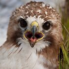 Red-tailed Hawk - juvenile by Gerry Danen
