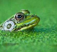Frog in Duck Weed by (Tallow) Dave  Van de Laar