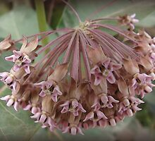 (Aug.) Magnificent Milkweed by vigor