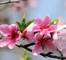 Peach Blossom in Barda, Romania by Dennis Melling