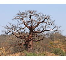 Redwine Baobab Photographic Print