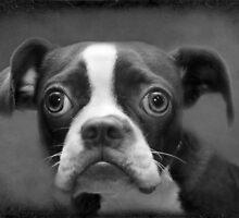 Boston Terrier by Susanne Correa