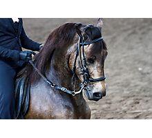 Paso Fino Show Horse Photographic Print