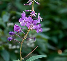 Lonely Fireweed by James Birkbeck
