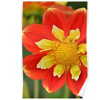 Orange and yellow dahlia Poster