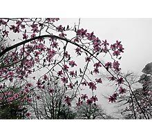 Magnolia in the Mist Photographic Print