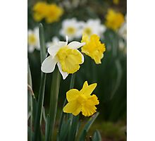 Winter's Daffodils Photographic Print