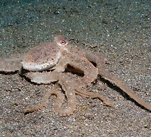 Long-arm Octopus, North Sulawesi, Indonesia by Erik Schlogl
