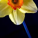 Daffodil Drops by Mary Broome