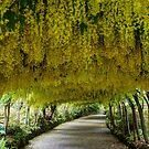 Laburnam Arch Bodnant Gardens by JohnYoung