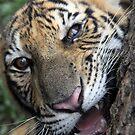 Curious Kitten by Hege Nolan