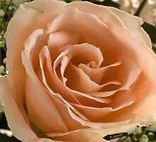 Mom's Rose by cherylc1