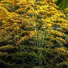 Yellow Wild Flowers by Antanas