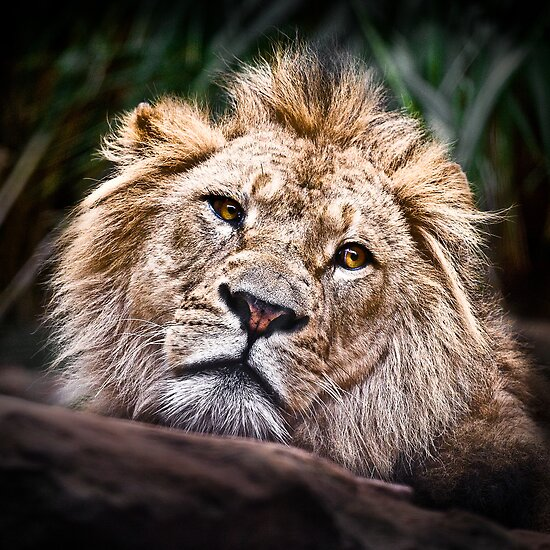 Depressed Young Lion by Manfred Belau