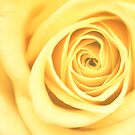 Yellow Rose by mariakallin