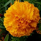 Targetes Marigold by bubblehex08