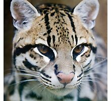 Ocelot Photographic Print