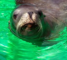 California Sea Lion by Paul Messenger