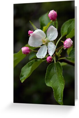 Spring Apple Blossom Encircled By Pink Buds by Gene Walls